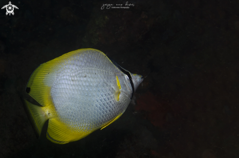 A Spotted Butterflyfish