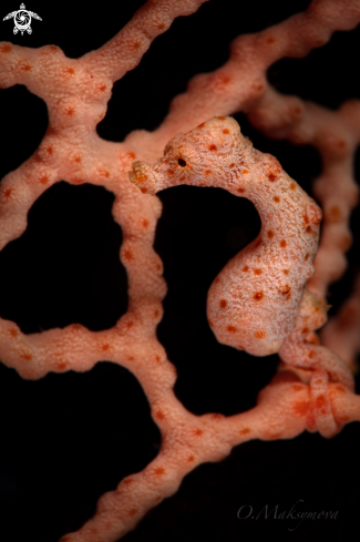 The Denise's pygmy seahorse (Hippocampus denise)