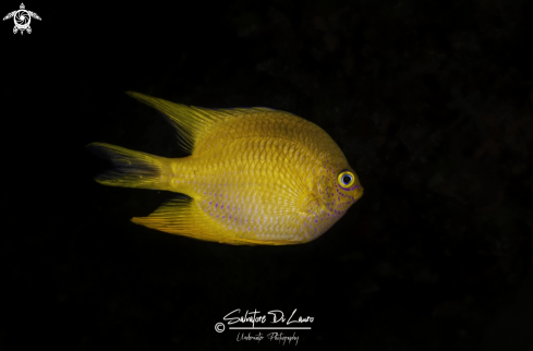 A Yellow damselfish