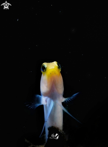 A Opistognathus aurifrons  | Yellowhead Jawfish
