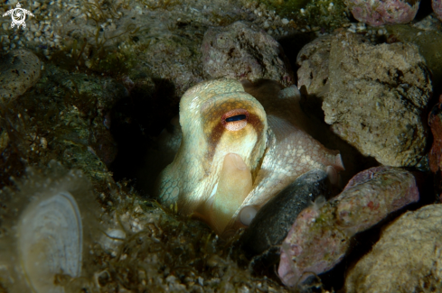 A Common octopus