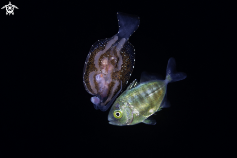 A Pelagic Nudibranch and juvenile Jack fish