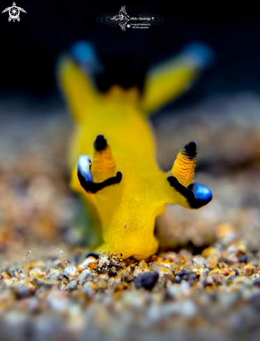 A Pikachu Nudibranch - Seaslug