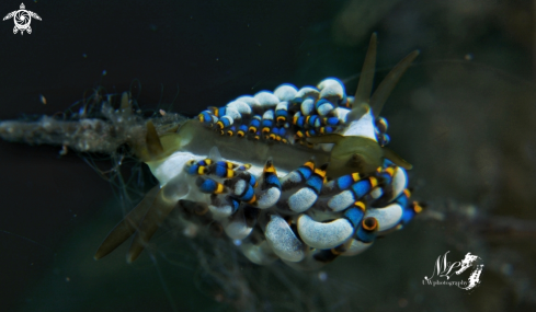 A Trinchesia sp nudibranch