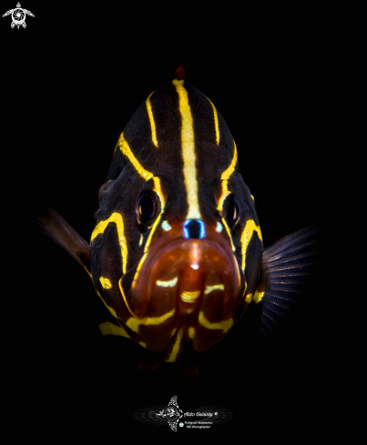 The Goldstriped Soapfish or Lined Soap Fish