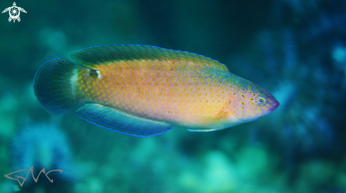 The Black-spotted Wrasse