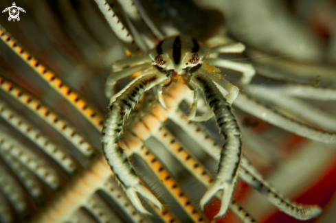 A Allogalathea elegans | SQUAT LOBSTERS