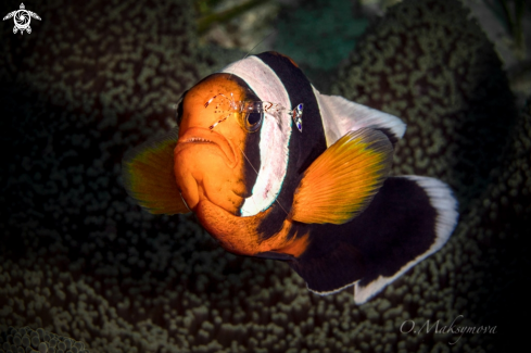 A Anemone fish with shrimp