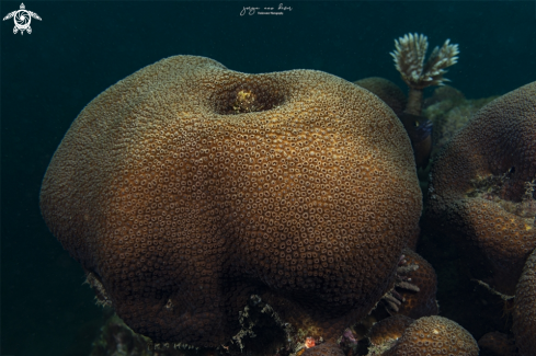 A Great Star Coral