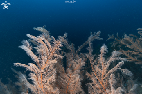 The Black Coral