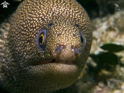 A Gymnothorax miliaris | Goldentail Moray