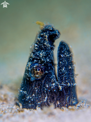 A Pisodonophis cancrivorus | Longfin Snake Eel