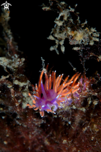 A Paraflabellian ischitana nudibranch