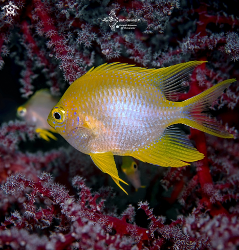 A Golden Damselfish