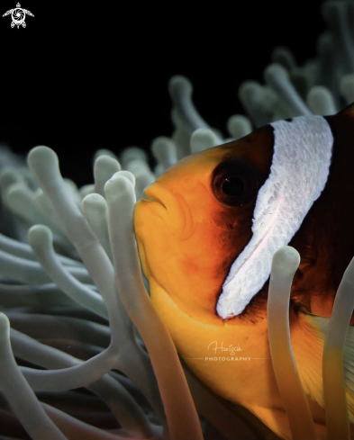 A Nemo - clown fish