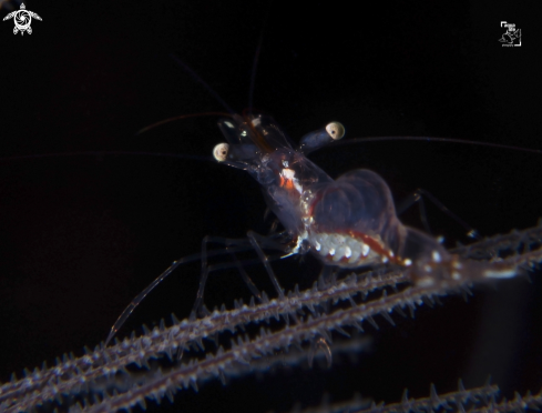 A Black Coral Shrimp