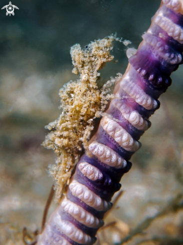 A Sea Pen Shrimp