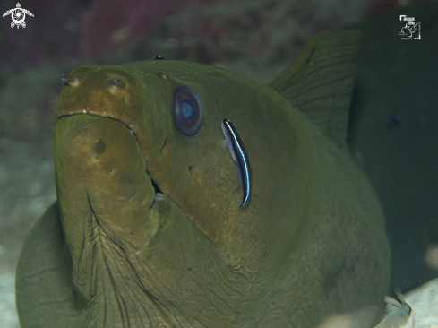 A Goby cleaning a Green Moray