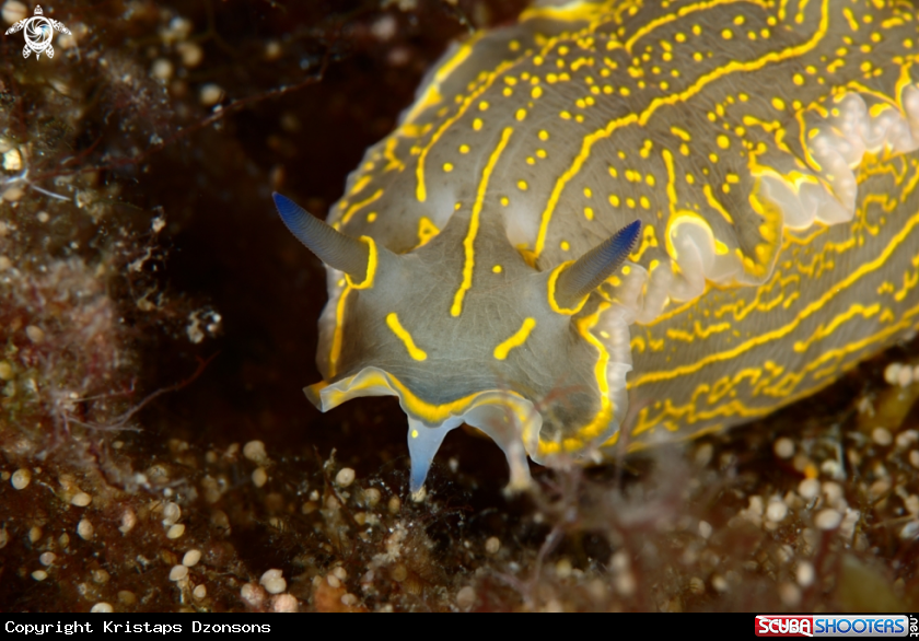 A Felimare picta nudibranch