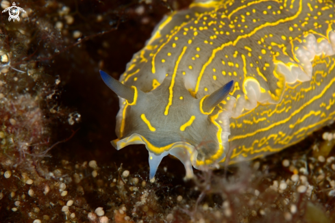 The Felimare picta nudibranch