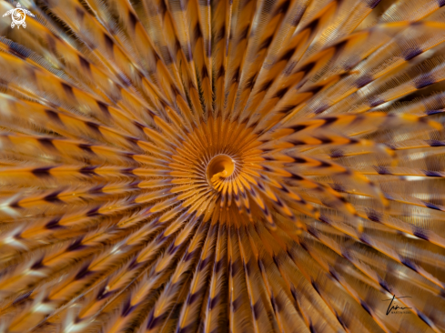 The Mediterranean Fanworm
