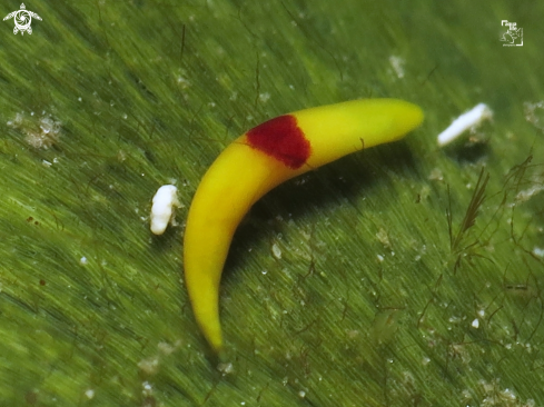 The Red Spot Banana Worm