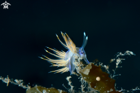A Dondice trainitoi nudibranch