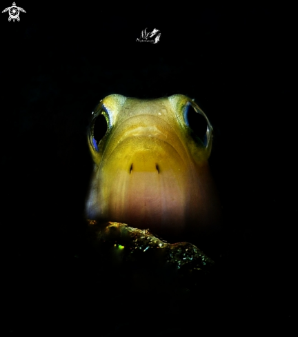 A Yellowhead Jawfish