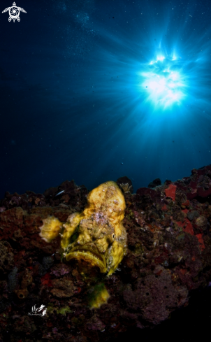 A Yellow Longlure frogfish