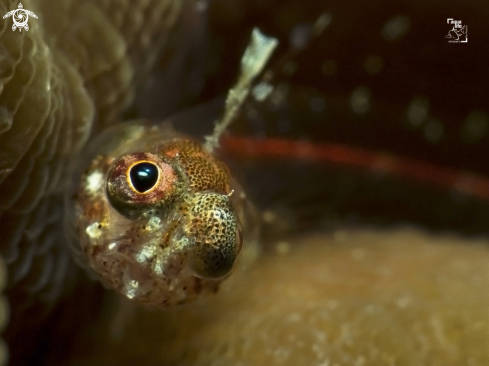 A Flagfin Glass Blenny