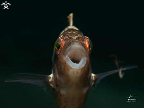 A Brown Wrasse