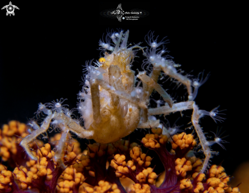 A Achaeus spinosus (Miers, 1879)   | Spiny Spider Crab