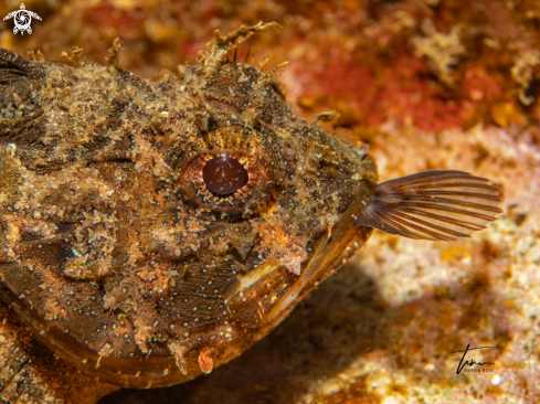 A Brown Scorpionfish