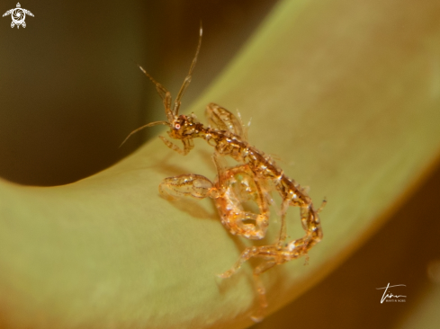 The Skeleton shrimp