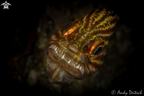 A Tiger Cardinalfish