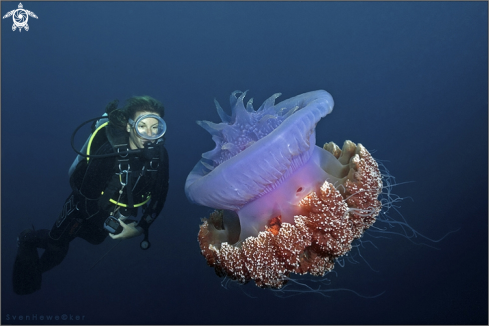 A diver with crown jellyfish