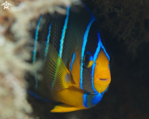 A Juvenile Queen Angelfish
