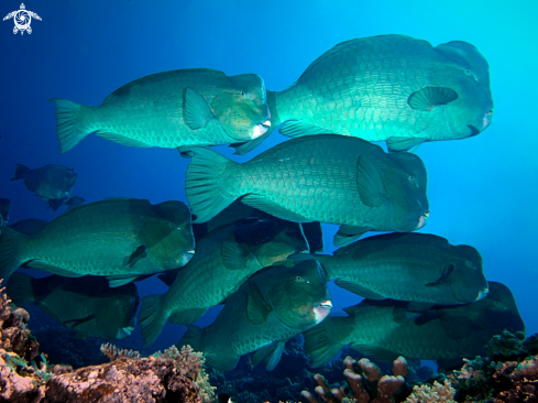 A Bulbometopon muricatum | Bumphead Parrotfish