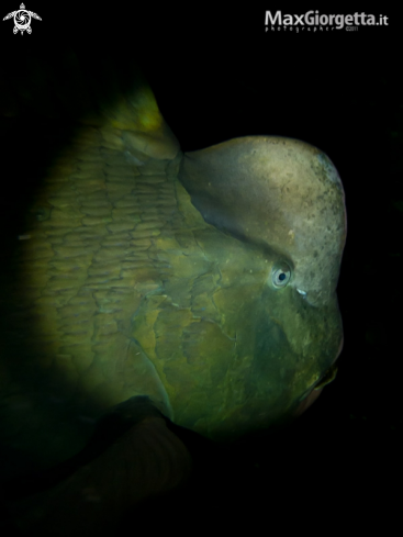 A parrot fish | pappagallo