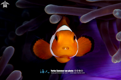 A Clown Anemonefish with Tongue Eater