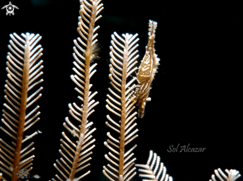 A hydroid with commensal shrimp