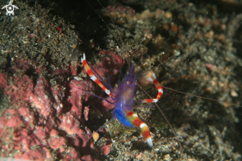 A Stenopus tenuirostris | Blue Coral Banded Shrimp
