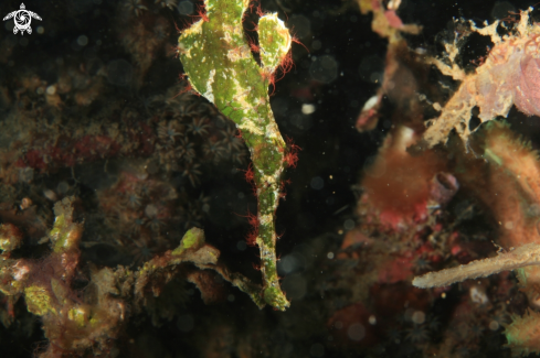 A Halimeda Ghost Pipefish