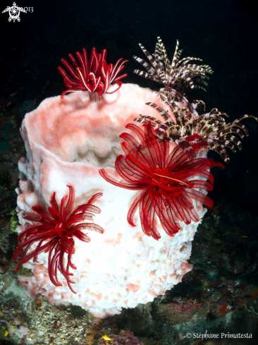 A Barrel sponge with crinoids