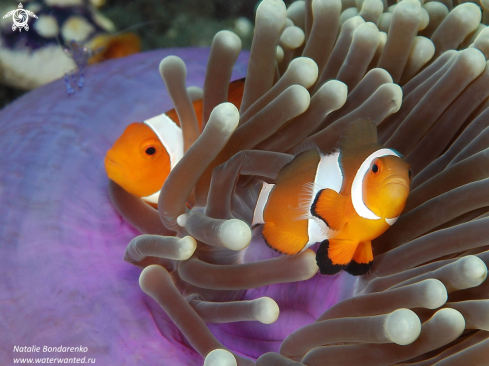 A Amphiprions